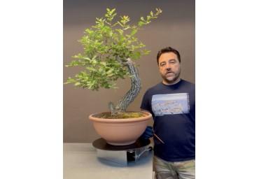 bonsai Quejigo